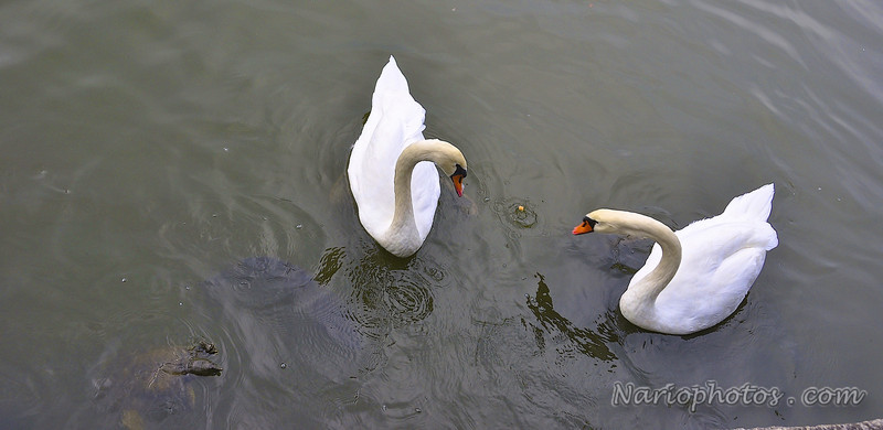 Imperial Palace Swans
