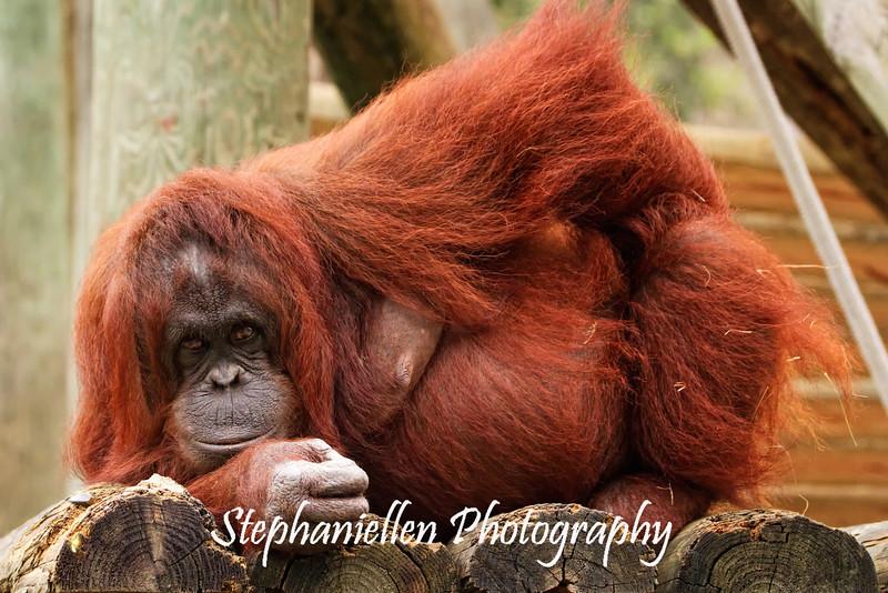 Sassy Orangutan