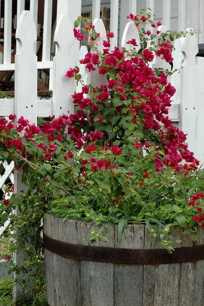 ...i love the bougainvillea...it is so hardy yet throws flowers when stressed (shouldn't we all)...this one was set off by a previously empty barrel (i filled an empty vessel with beauty..hmmm)..and white picket fence...
