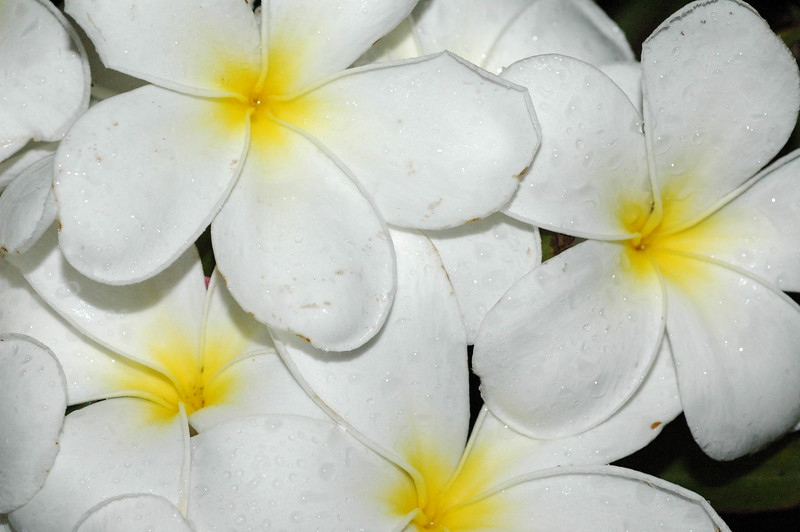 """...late morning bright sun on plumeria<br /> <br />  <a href=""""http://www.amazon.com/gp/product/1440473218/ref=cm_pdp_rev_itm_img_2"""">http://www.amazon.com/gp/product/1440473218/ref=cm_pdp_rev_itm_img_2</a>"""