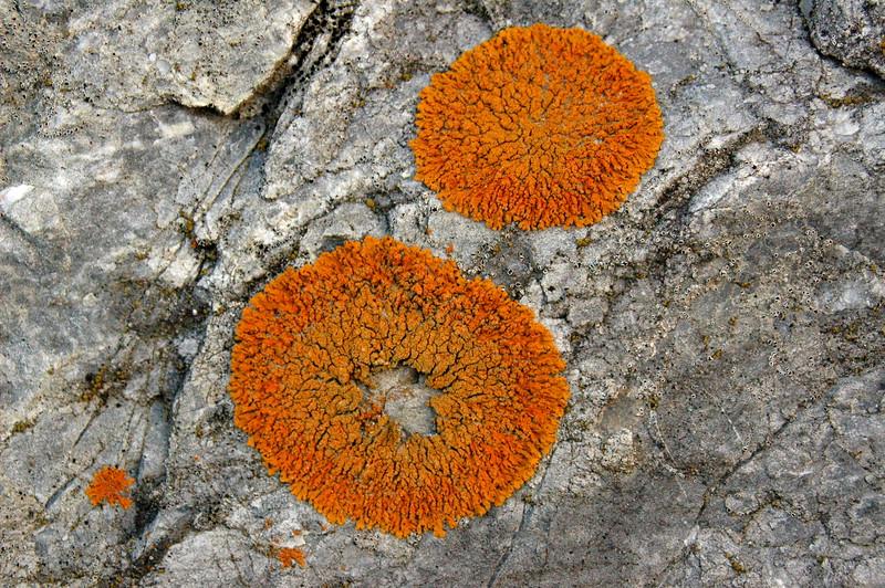 ..orange lichen on rock at jasper national park--alberta canada