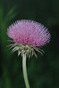 """...thistle (weed) in stonewall texas...folks hang this photo vertically and horizontally for different effect...the purple tinged """"leaves"""" are wonderful to behold...."""