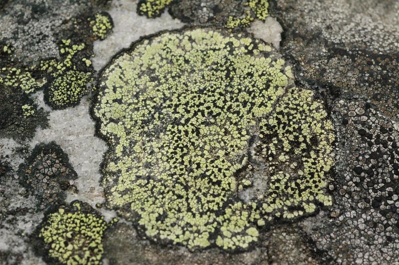 ..green lichen in alberta canada---jasper national park---when blown up the white crystal glistens in the sun...
