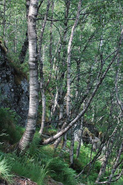 """Norwegian Wood""  this photo was taken on a hike to Preikestolen (pulpit rock)in Norway.  I was hiking back and at one of the switchbacks on the trail; the afternoon light sets these trees to dancing...it was a moment for me...."