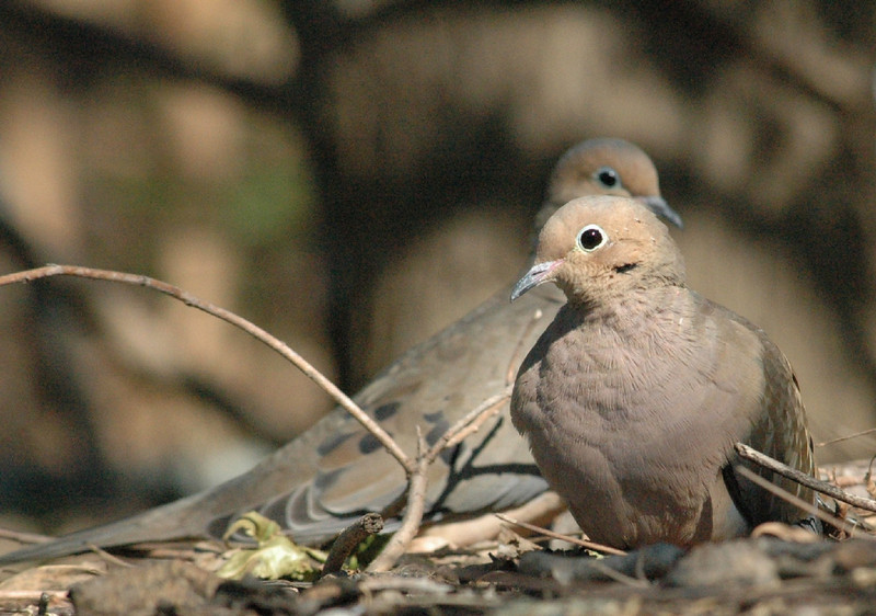 exhausting and frustrating morning of photography..not one good image...walking back to truck n spot these two dove...nice day after all
