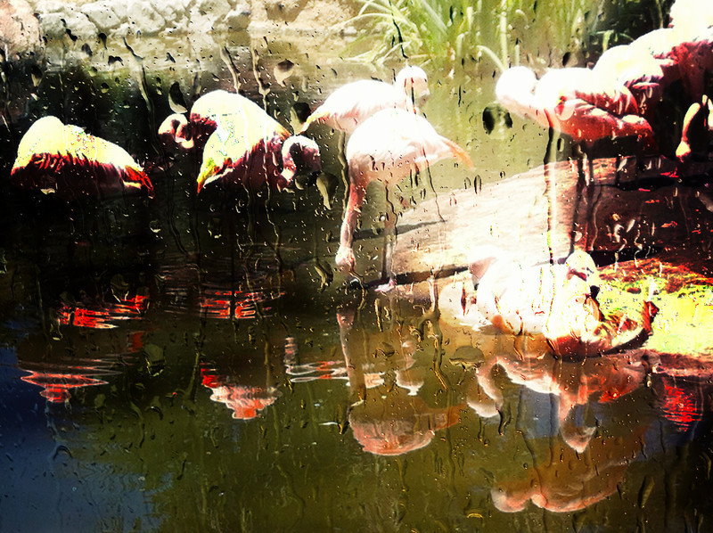Flamingoes at the San Diego Zoo Safari Park