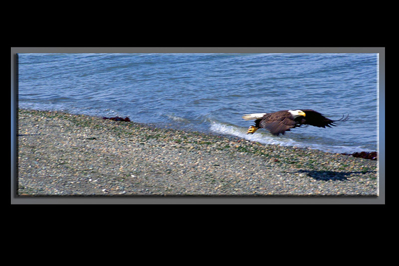Eagle swoops in to pick-up a piece of fish