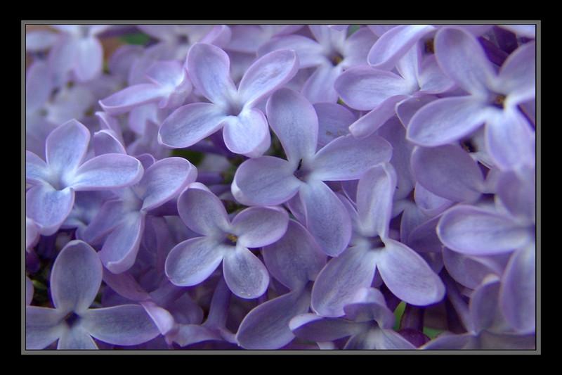 Lilacs 7415