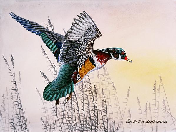 Wood Duck Study<br /> Watercolor - Illustration Board