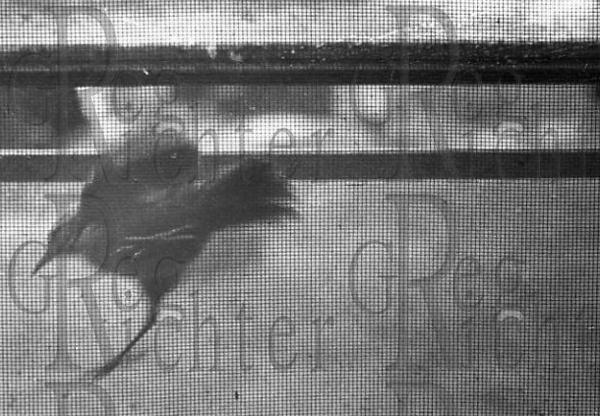 Bird escaping a window.