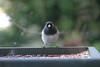 Native bird - Pacific Northwest