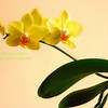6-Yellow Orchid copy