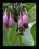 Bees like comfrey (CU)