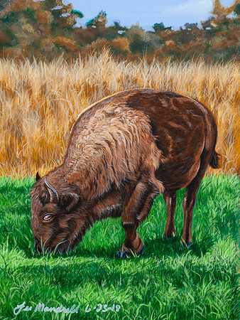 """Land Between The Lakes Buffalo"""