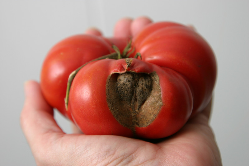 A tomato in hand is worth...