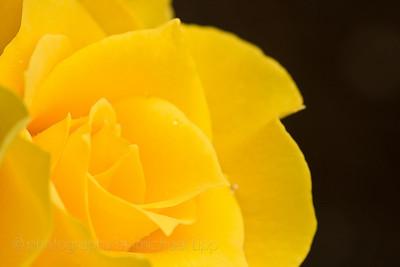 2008-07-02_yellowRose-88