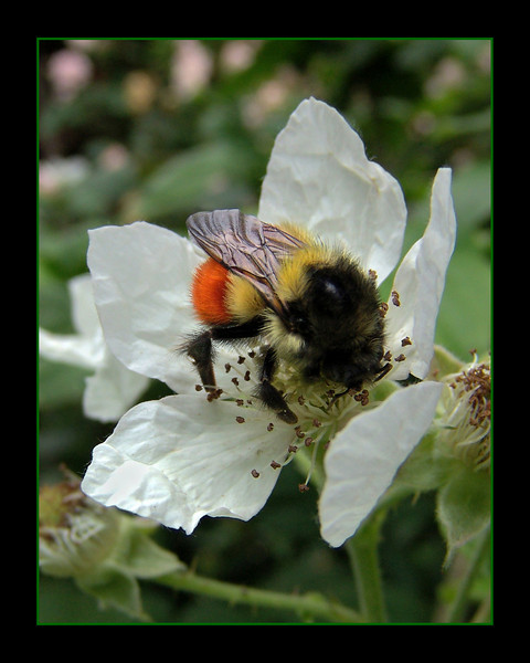 Bee on a Blackberry blossom