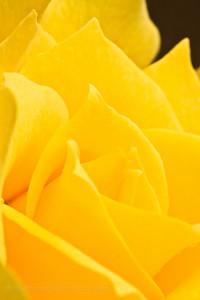 2008-07-02_yellowRose-72