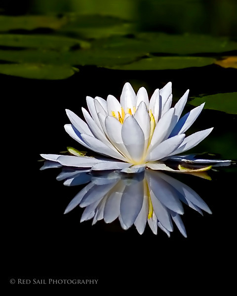 Pond Lily. Early morning shot taken while the water was still for a sharp reflection..