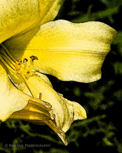 Yellow Day Lily. Image taken at Fields Pond Audubon Facility near Brewer, Maine.
