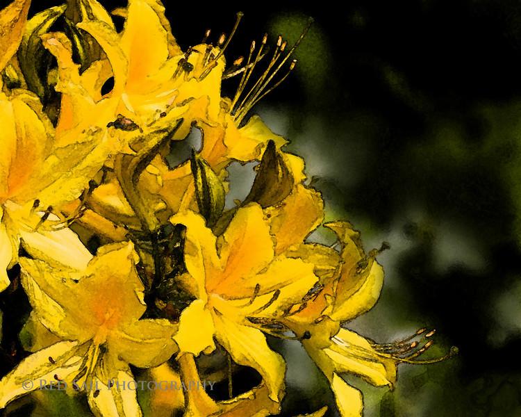 Yellow Day Lily. Image taken at the Asticou Azalea Gardens near Southwest Harbor on Mt. Desert Island, Maine