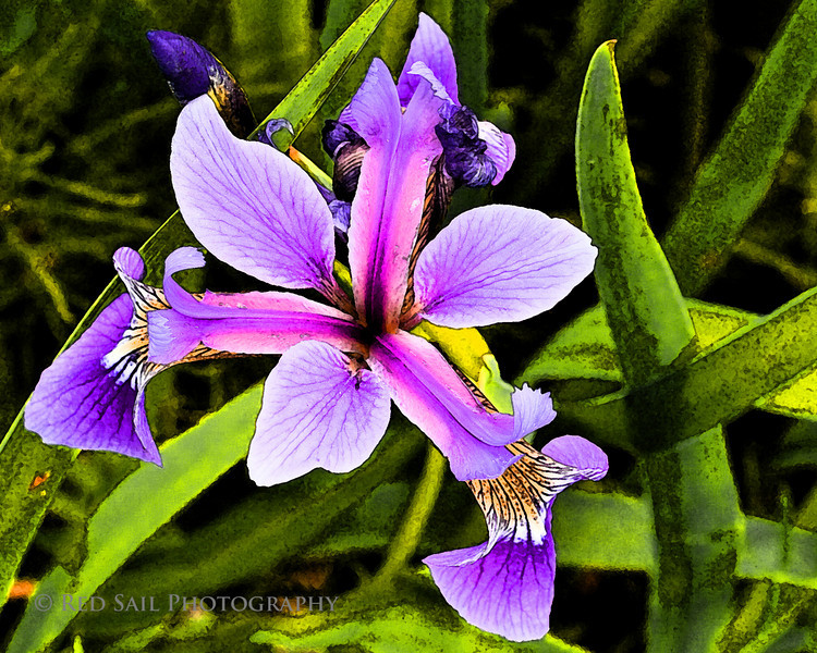 Purple Iris. This image is also stunning on canvas with a dark green or black mat.
