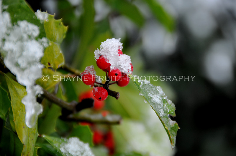 Holly Berries After a Winter Snow