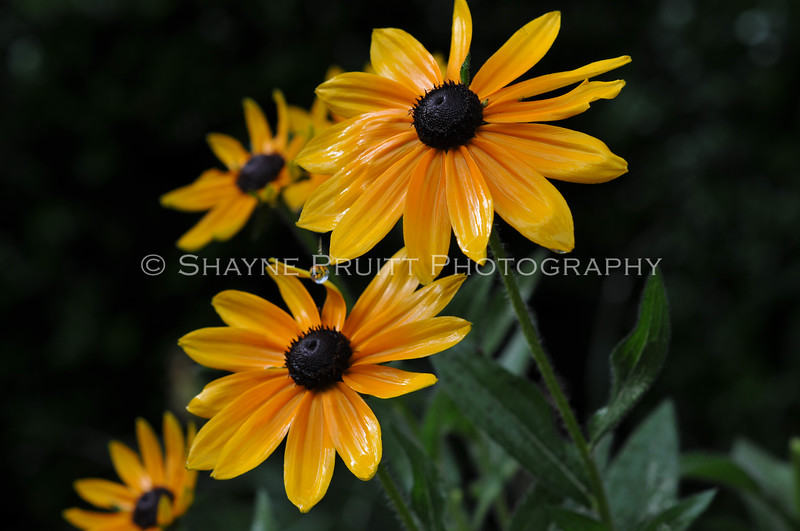 Brown Eyed Susans After a Spring Rain