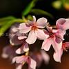 Pink Dogwood Tree Blooms