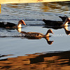 Duck Reflections at Sunset