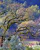 Napa Valley Oak