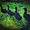 Black Ducks in a Row