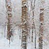 Three Birch Trunks