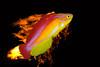 digital artwork composite of flame wrasse, Cirrhilabrus jordani, endemic to Hawaii ( Central Pacific Ocean )