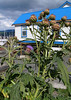 Thistles at Cowichan Bay