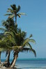 belizian beach palms