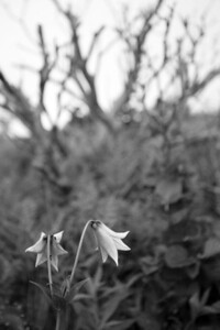 Greys Lily BW