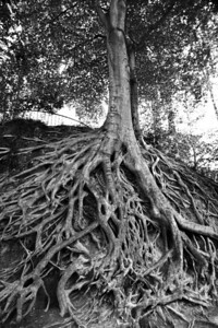 tree at Governors School BW2