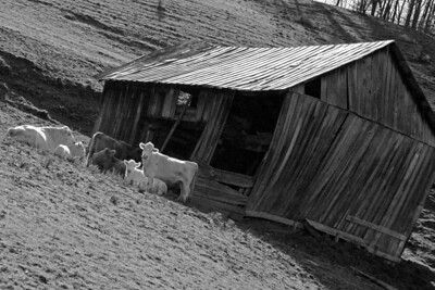 Cow at shed on hill BW