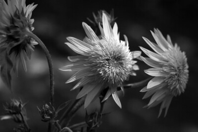 3 sunflowers BW