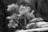 Twisted Pine (Zion Bonzai)