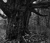 Ancient Burled Maple