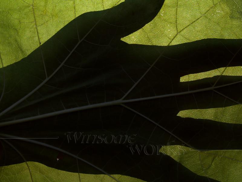 Silhouette of Hand on Catalpa Leaf