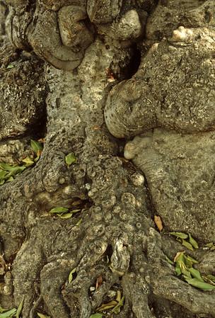 Bumpy Gnarled Tree Bark, Haiti