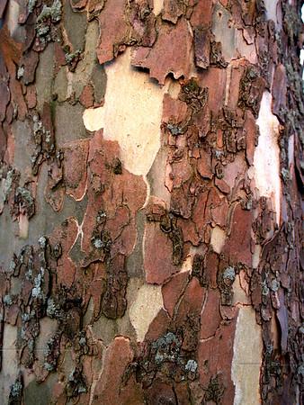 Sycamore tree bark