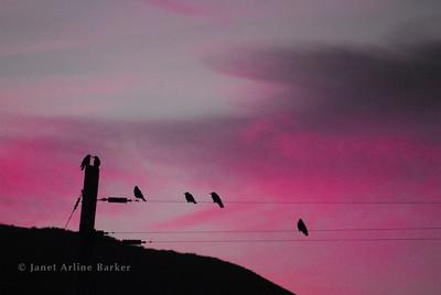 DSC_2299-birds on wires-pink-pp