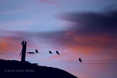 DSC_2299-birds on wires-purple-pp