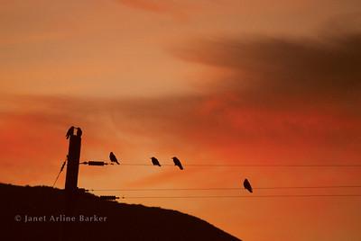 DSC_2299-birds on wires-orange-pp
