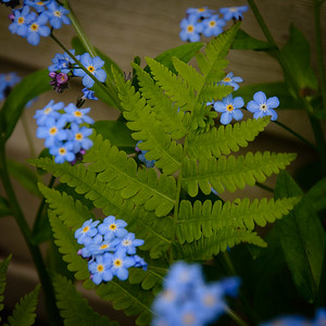 Young Fern and Forget-me-not