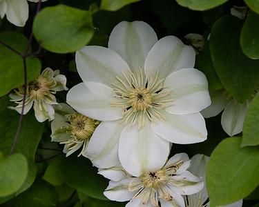 White Clymatis 3